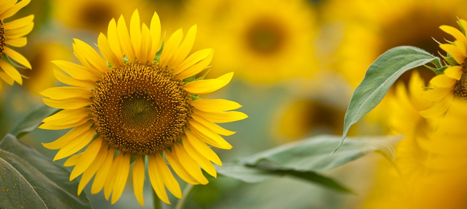 Sunflowers (13 images)